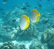 Philippine Butterflyfish by narbs