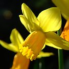 Spring Daffodil  by James  Smart