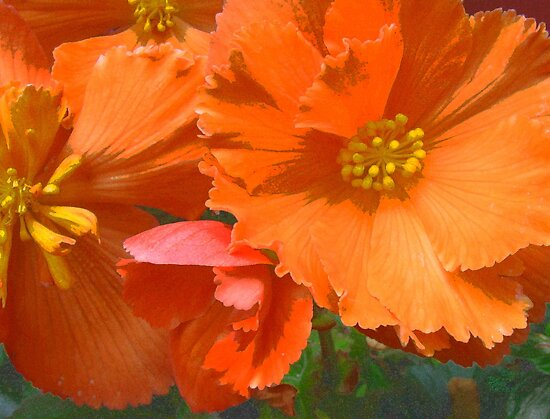 Begonia Magic by Betty Mackey