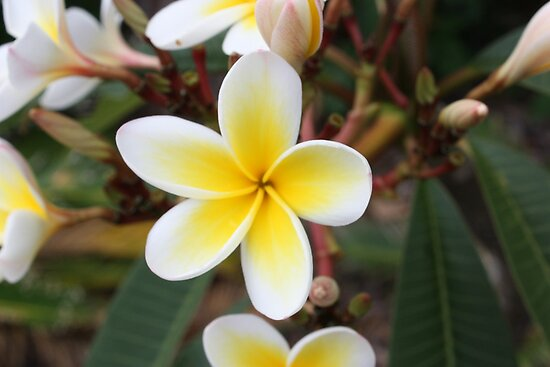 Pretty White and Yelow Frangipanis by Karlee Lynam