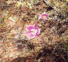 May Mariposa Lily by Dave Sandersfeld