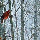 The Cold Blooded Cardinal by Mister Thrasher