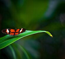 Chistmas Butterfly by bertheymans