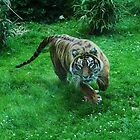 Tiger on the Run by Clickerpic
