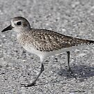 Black bellied Plover by Dennis Cheeseman