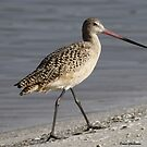 Marbled Godwit by Dennis Cheeseman