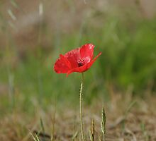 Lone Roadside Poppy by Nicola Clarke