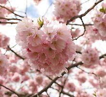 Cherry Blossom - Springtime in England by Nicola Clarke