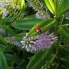 Little Ladybird by Clickerpic