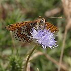 Glanville Fritillary butterfly by Hugh J Griffiths