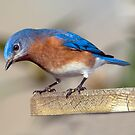 Curious Eastern Bluebird by Bonnie T.  Barry