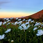 Daisy Sunset by Rob  Southey