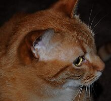 Orange Shorthaired Tabby by Rebecca Bryson