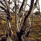 Snowgums by Harry Oldmeadow