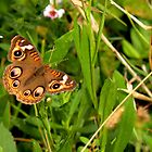 Buckeye Butterfly in Nature by Rosalie Scanlon