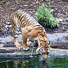 Thirsty Tiger by Karina  Cooper