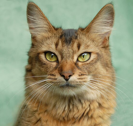 Portrait of a Usual Somali Cat by sarahnewton