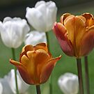 Golden Tulips by Monnie Ryan