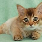 Somali kitten portrait by sarahnewton