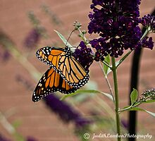 Monarch # 3 by Judy Lawhon
