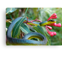 Bluish Green Tree Snake - Dendrelaphis punctulata Canvas Print