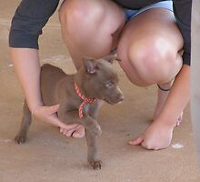 Dee's blue eyed Kelpie pup for Christmas. by Rita Blom