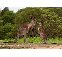 Eastern grey Kangaroos - Australia Photographic Print
