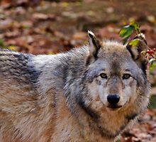 Gray Wolf II by Sandy Keeton