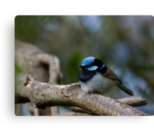 Superb Fairy Wren (Male) Canvas Print