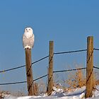 Female Snowy Owl by Ron Kube