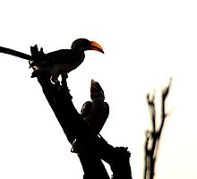 Yellow-billed Hornbills by Tim Fitzgerald