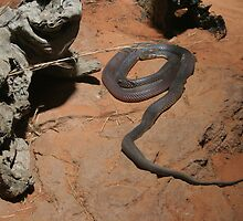 Black snake, Australia by Deb22