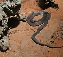 Black snake, Australia by Deb22