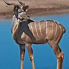 Greater Kudu (Tragelaphus strepsiceros) by Konstantinos Arvanitopoulos