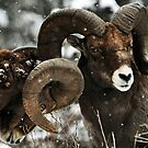 Bighorn Sheep by Shelly Wickens