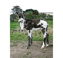 Another Baby Donkey Photographic Print
