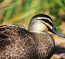 dapple duck by Karen E Camilleri