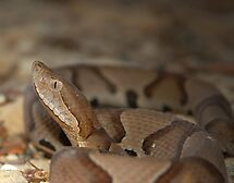 Southern Copperhead by Michael L Dye