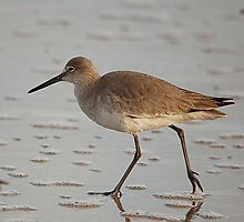 Wading Willet by Michele Conner