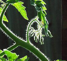 My tomato plant by SDJ1