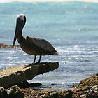Brown Pelican by Allen Lucas