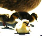 Fuzzy Ducks by Adam Jones