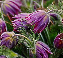 pasque flower 3 by Rodney55