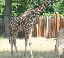 Tall Giraffe at Boise Zoo, Idaho. by Mywildscapepics