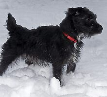 Bailey - The Patterdale Terrier by Chris Clark