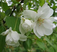 White Blooms by art2plunder