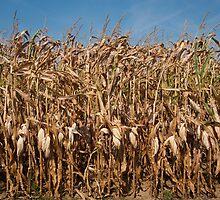 Corn stalks by Jaime Pharr