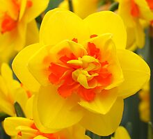 Double Daffodils by roumen