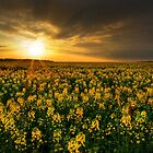 Canola Field by Martins Blumbergs