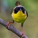 Common Yellowthroat stare by Jim Cumming